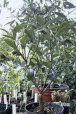 citruspflanzen pflege von fortunella margarita kumquat. Black Bedroom Furniture Sets. Home Design Ideas